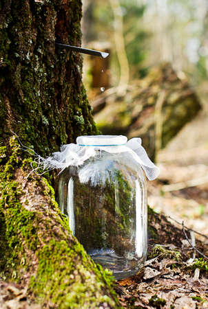Birch sap dripping