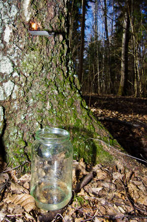 Collecting birch sap in the forest Stock Photo