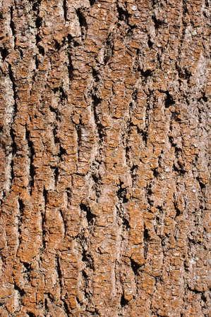 Cracked red tree bark photo
