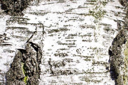 Birch bark close up horizontal orientation photo