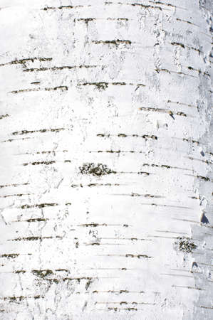 Birch bark texture abstract in portrait orientation