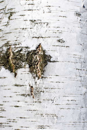Cracked birch bark surface texture photo