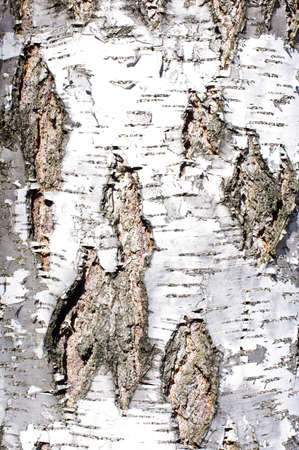 Birch bark texture photo