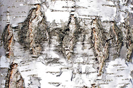 Silver birch bark surface texture landscape orientation photo