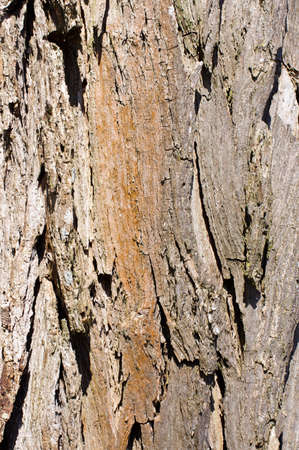 Thuja stem surface texture abstract photo