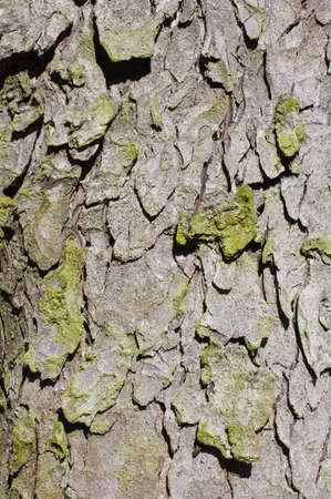 Green moss on the pine bark photo