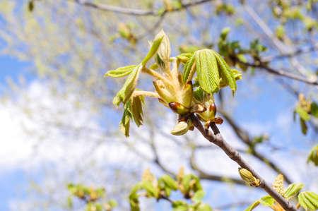 conker: Fresh conker leaves