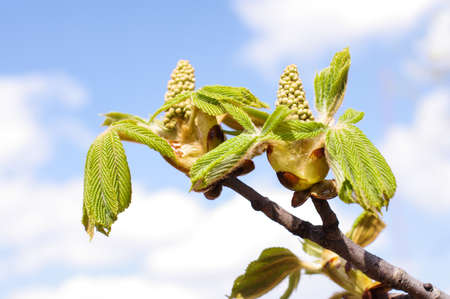 conker: Fresh spring conker bud and leaves