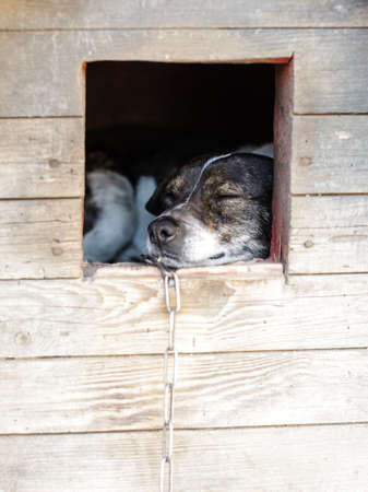 guard dog: Sleepy guard dog