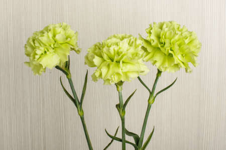 Three carnation flower blooms close up photo