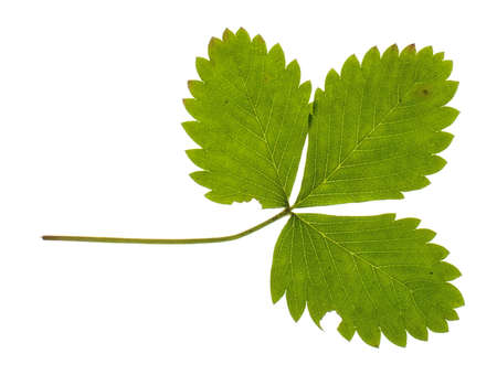 Forest strawberry leaf isolated on the white background photo