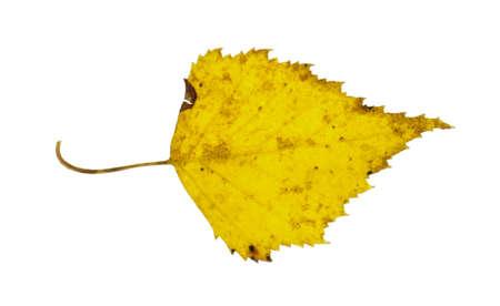 Sárga nyírfa levél vízszintes fotó Stock fotó