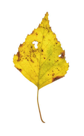Yellow birch tree leaf Stock fotó