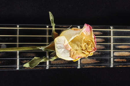 fretboard: Wilted rose flower on guitar fretboard isolated