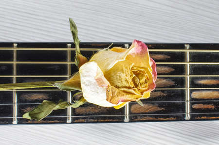 fretboard: Wilted rose flower on guitar fretboard isolated on the bright background Stock Photo
