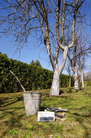whitewash: Early spring gardening work tree whitening and whitewash