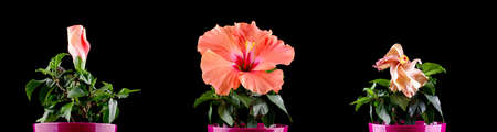 life after death: Hibiscus flower blooming stages time lapse Stock Photo