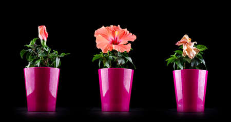 aging concept: Aging concept from Hibiscus flower life cycle Stock Photo