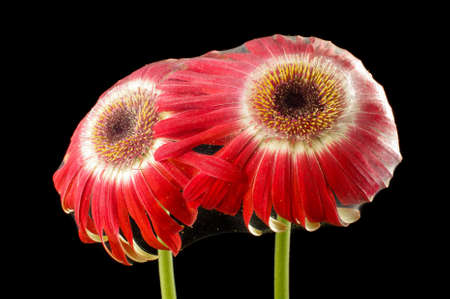 natural phenomena: Two gerbera blooms covered with cobweb suffering from parasitic spiders Stock Photo