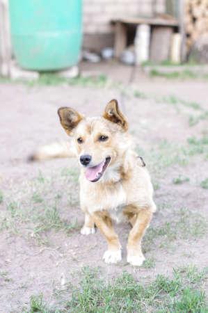 guard dog: Farm guard dog