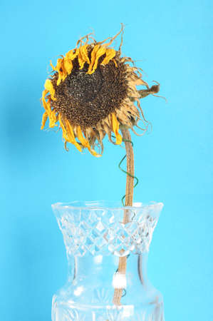 faded: Dried faded sunflower in the glass vase