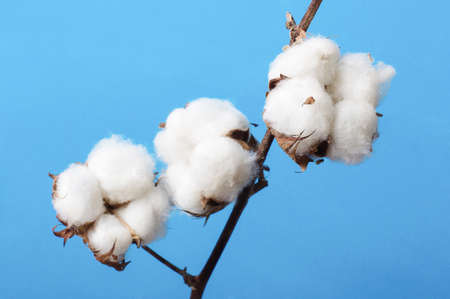 Branch of cotton plant isolated on the blue background