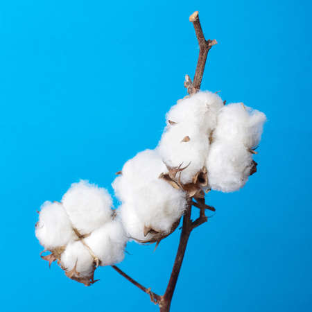 Cosiness concept cotton plant branch still life