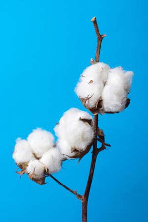 cotton flower: Cosiness concept cotton plant branch still life