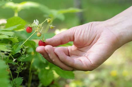Healthy lifestyle concept girl hand picking wild strawberries in the forest Stock Photo