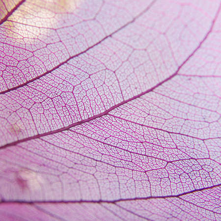 dried leaf: Pink dried leaf vessel abstract macro close up