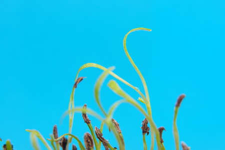 Tiny sprouts in spring against blue background Stock Photo