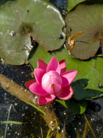 Pink water lily bud prepared for blooming close up
