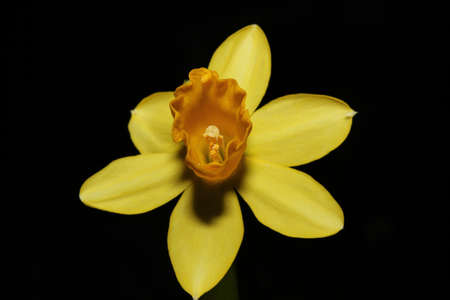 narcissus daffodil Stock Photo - 8772290