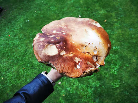 Giant size boletus mushroom in girls hands
