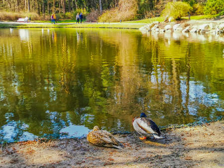 Photo of two ducks sleeping by a pond in a public park on a spring morning
