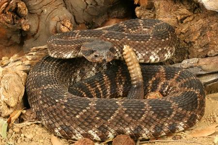 Sud Pacifico Rattlesnake (Crotalus viridis helleri).