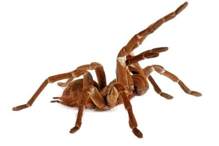 tarantula: Goliath Birdeater Tarantula.