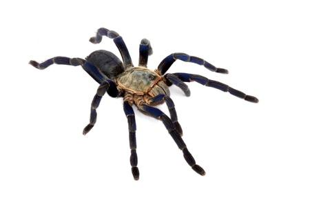 arachnophobia animal bite: Cobalt Blue Tarantula (Haplopelma lividum).
