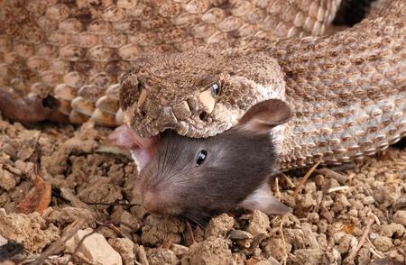 Western Diamondback Rattlesnake (Crotalus atrox) feeding on a dead rat.