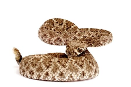 serpiente de cascabel: Western Diamondback cascabel (Crotalus atrox).