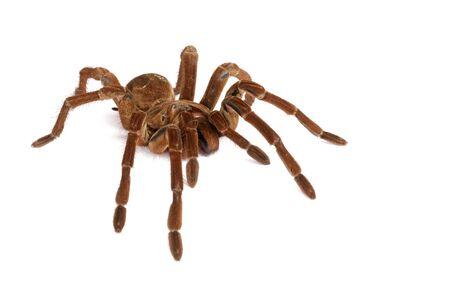 exoskeleton: Goliath Birdeater Tarantula.