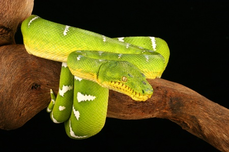 Emerald Tree Boa (Corallus caninus). photo