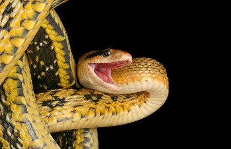 taeniura: Taiwan bellezza serpente (Elaphe taeniura friesei).
