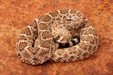 Western Diamondback Rattlesnake  Crotalus atrox   photo