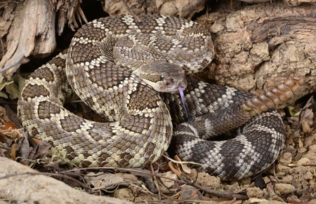 venom: Closeup of a Southern Pacific Rattlesnake