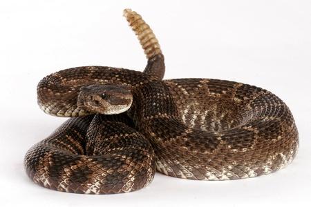serpiente de cascabel: Serpiente de cascabel del Pac�fico Sur (Crotalus viridis helleri). Esta serpiente se encuentra en las monta�as de Santa M�nica de California. Es algo agresivo y tiene grandes cantidades potentes de veneno. Esta es una serpiente de cascabel muy peligroso. Foto de archivo