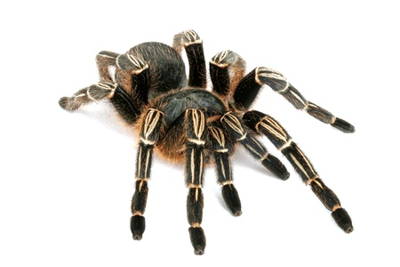 Close-up of a Zebra Tarantula (Aphonopelma seemani). A medium sized tarantula and is somewhat timid. It will flick hairs (urticating hairs) from its abdomen when it feels threatened.