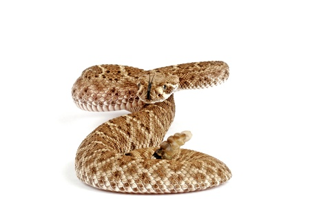 medical attention: Western Diamondback Rattlesnake (Crotalus atrox).  This can be one of the most aggressive rattlesnakes in the United States. Its large with potent venom. It can be deadly if medical attention is not received in a timely manner. These snakes are quite bea