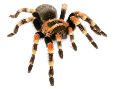 tarantula: Mexican Redknee Tarantula (Brachypelma smithi).  One of the most sought after tarantulas. Colorful and mild temperment. It will throw hairs from its abdomen when threatened.  These hairs can be irritating to humans.