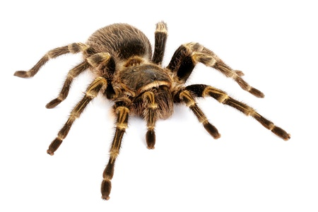 chaco: Chaco Golden Knee Tarantula (Grammostola aureostrista). A large somewhat docile  tarantula that will flick hairs if threatened. Stock Photo
